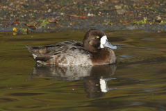 Lesser Scaup Stock Photo