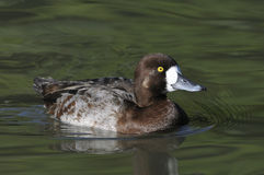 Lesser Scaup Stock Photos
