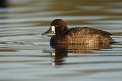 Lesser scaup, Aythya affinis Royalty Free Stock Photo