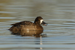 Lesser scaup, Aythya affinis Royalty Free Stock Images