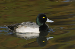 Lesser Scaup. Aythya affinis Stock Photo
