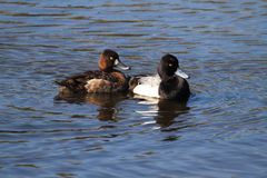Lesser Scaup (Aythya affinis) Royalty Free Stock Photos