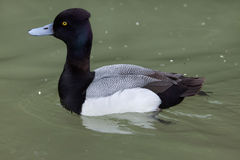 Lesser scaup Aythya affinis. Royalty Free Stock Photography