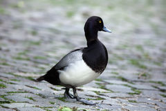 Lesser scaup Aythya affinis. Royalty Free Stock Images