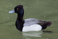 Lesser scaup Aythya affinis. Stock Image