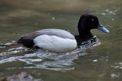 Lesser scaup Aythya affinis. Stock Images