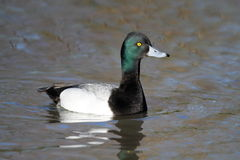 Lesser Scaup Royalty Free Stock Photo