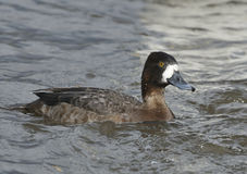 Lesser Scaup duck stock images