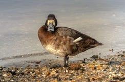 Lesser Scaup Duck femminile immagini stock libere da diritti
