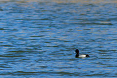 Lesser Scaup duck striking a pose Royalty Free Stock Images