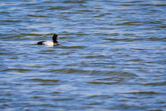 Lesser Scaup duck swimming on the lake Stock Images