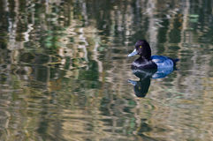 Lesser Scaup Duck Swimming in the Still Pond Waters Royalty Free Stock Image