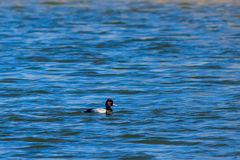 Lesser Scaup duck swimming to the right Stock Image