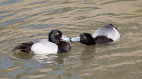 Lesser scaup ducks kissing Stock Photography