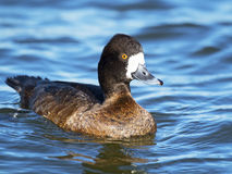 Lesser Scaup. A female Lesser Scaup floating in the River Royalty Free Stock Image