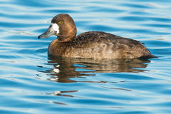 Lesser Scaup Royalty Free Stock Photography