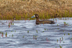 Lesser Scaup - femmina Fotografia Stock