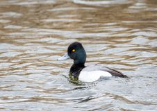 Lesser Scaup. A Lesser Scaup swims in a pond at Market Lake Wildlife Refuge near Roberts, Idaho Stock Photos