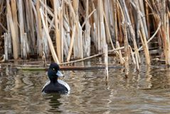 Lesser Scaup. A Lesser Scaup swims in a pond at Market Lake Wildlife Refuge near Roberts, Idaho Royalty Free Stock Photo