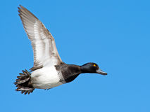 Lesser Scaup. A Male Lesser Scaup in flight Stock Image
