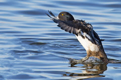 Lesser Scaup Stock Images