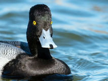 Lesser Scaup. A Male Lesser Scaup floating in the River Stock Photo