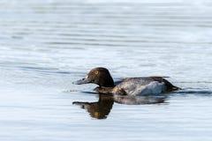Lesser Scaup nageant avec des ondulations image stock