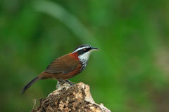 Lesser Scimitar Babbler. Standing on wood Stock Image