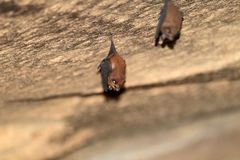 Lesser sheath-tailed bat Stock Photo