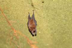 Lesser sheath-tailed bat Royalty Free Stock Photography