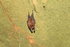 Lesser sheath-tailed bat Stock Images