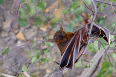 The Lesser short-nosed fruit bat (Cynopterus brachyotis). In the. Leaves during the daylight Royalty Free Stock Image