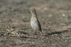 Lesser short-toed lark, Calandrella rufescens Stock Image