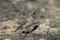 Lesser short-toed lark, Calandrella rufescens Royalty Free Stock Image