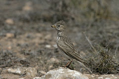 Lesser short-toed lark, Calandrella rufescens. Spain, spring royalty free stock image