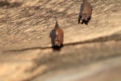 Lesser skida-tailed slagträ Arkivfoto