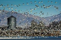 Lesser Snow Geese und Silo Stockbild