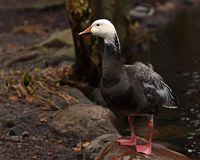 Lesser Snow Goose, bleu morph image stock