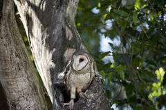 Lesser sooty owl Stock Photo