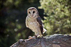 Lesser sooty owl Royalty Free Stock Photos