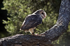 Lesser sooty owl Royalty Free Stock Images