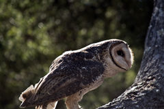 Lesser sooty owl Stock Image