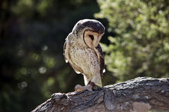 Lesser sooty owl Stock Photos