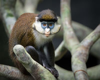 Lesser Spot-Nosed Monkey Image libre de droits
