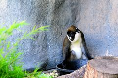 Lesser spot-nosed monkey Royalty Free Stock Photography