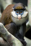 Lesser Spot-Nosed Monkey II Photographie stock