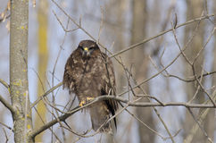 Lesser Spoted Eagle(aquila pomarina) Stock Photography