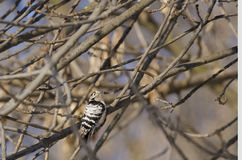 Lesser Spoted Woodpecker. (dendrocopos minor Stock Photography