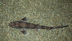 Lesser Spotted Catshark Stock Photography