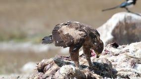 Lesser Spotted Eagle överst av kadaver stock video